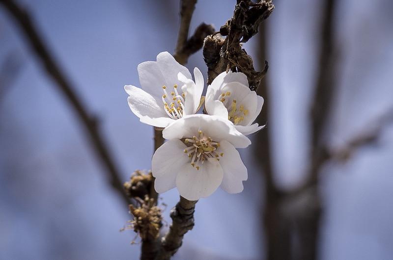 東京は桜が咲きました